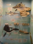 Chatteris Museum, 14 Church Lane: Part of new Jurassic display cabinet