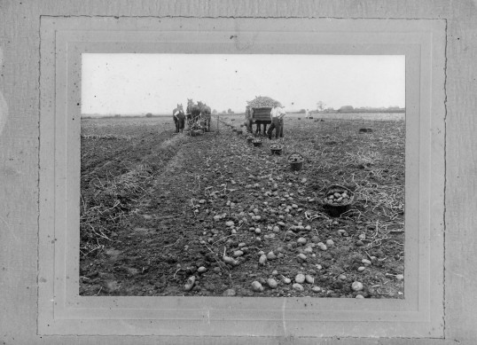 Potato harvesting in Chatteris