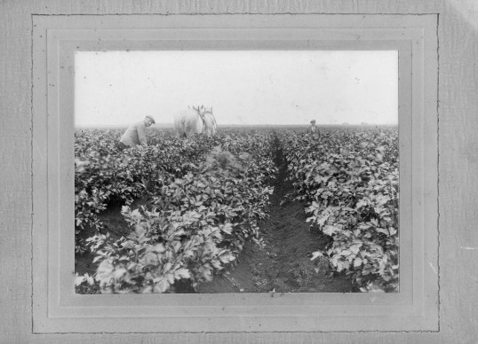 Cultivating celery in Chatteris. Photo kindly supplied by A Rickwood.