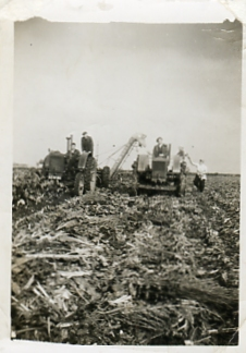 Tractors photographed in 1951 or 1952, working side by side with harvesting unit in a field near Chatteris.