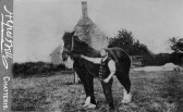 Alfred Bell photo of horse & keeper. From C Pope collection of Chatteris photos found among post card lot at auction.