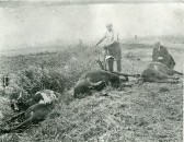 Bob Stacey with his cows which had been struck by lightning. Photo from the Stuart Stacey Collection.