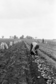 Harvesting Potatoes on  the land-Stuart Stacey Collection