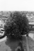 Magnificent view of lost Chestnut tree. Stuart Stacey collection