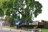 Ash Grove, Plane Tree.