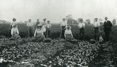 Potato picking race?