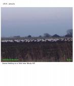 2014. January  Swans