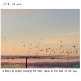 2014 Rooks at sunset. 24 June