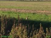 2015. Partridge seen from West Fen Road