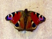 2016  Peacock Butterfly