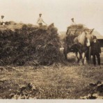 Bert Barnet harvesting at Chalk Farm Station Road, he was brother to John who owned the slaughter house opposite Fordham Station.