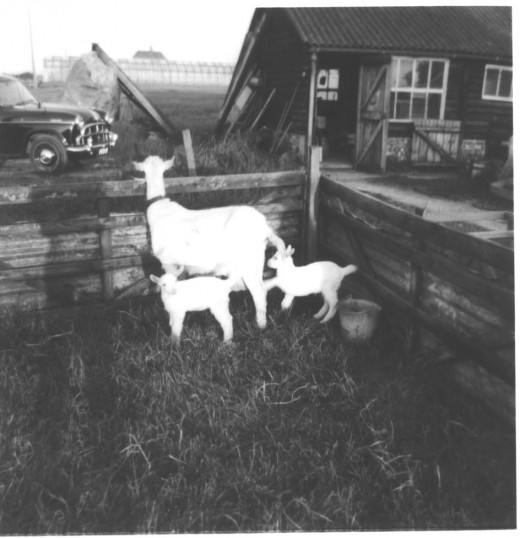 Great Abington - Land Settlement Association. 24 South Road, the Lee family holding. Goat with two kids.