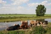 Cattle grazing on the banks of the Hundred Foor River, Pymoor, 2007