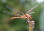The exceptionally warm and dry weather in April 2007 saw an extraordinary number of dragonfly in Pymoor.. The Weather in April 2007