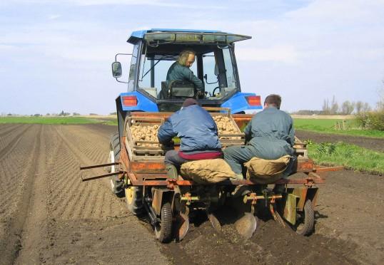 Setting potatoes in Pymoor, 2007.