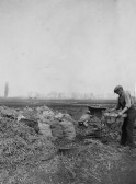 Jack Cole riddling potatoes on Third Drove, Pymoor.