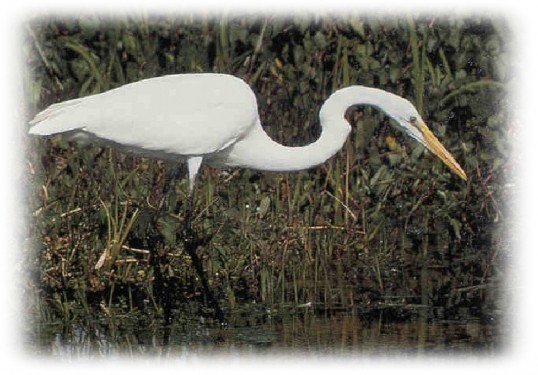A Great White Egret has been spotted in Pymoor, 2008