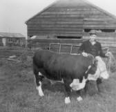 Colin Jordan in Main Drove, with Eric Harrison's Bull that he took for walks in Pymoor.