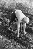 "Peggy Jordan, potato picking into ""cobs"", in Main Drove, Pymoor."