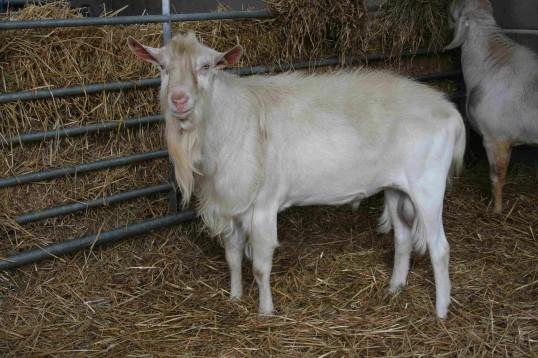 Chris Nye's goats in Pymoor, 2008.