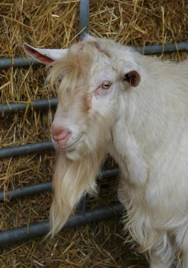 One of Chris Nye's goats in Pymoor, 2008.