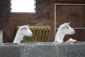 Two of Chris Nye's goats in Pymoor, 2008.