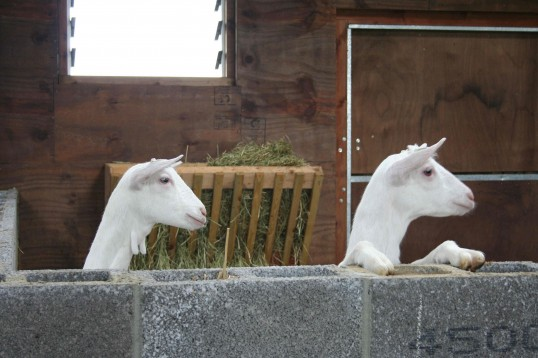 Two of Chris Nye's goats in Pymoor, 2008.
