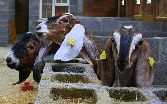 Some of Chris Nye's goats in Pymoor, 2008.