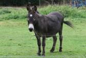 One of Graham and Kathy Lark's donkeys in Pymoor, 2008.