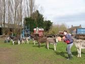 Melanie Lark with some of Graham and Kathleen Lark's donkeys in Pymoor, 2009.