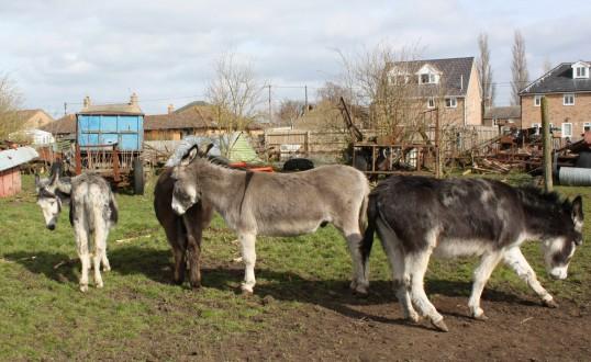 Some of Graham and Kathleen Lark's donkeys in Pymoor, 2009.