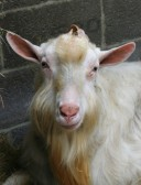 One of Chris Nye's goats, Pymoor, 2009.