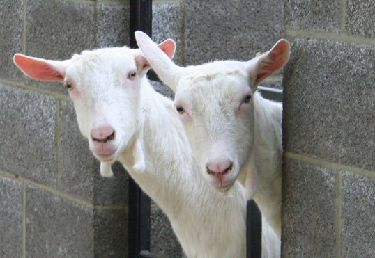Two of Chris Nye's goats, Pymoor, 2009.
