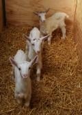 Four of Chris Nye's kid goats, Pymoor, 2009.