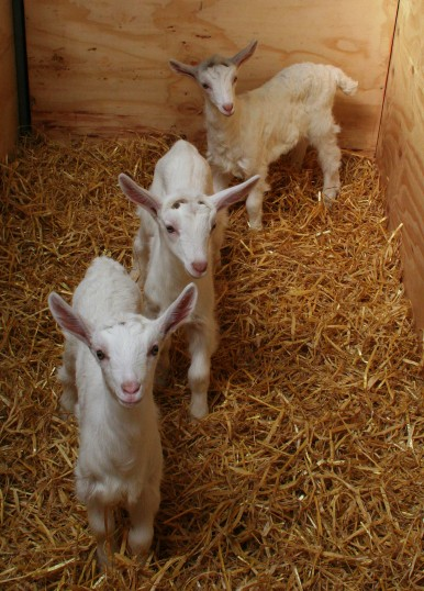 Four of Chris Nye's kid goats, Pymoor, 2009.