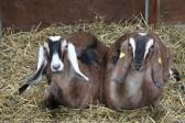 Two of Chris Nye's goats, Pymoor.