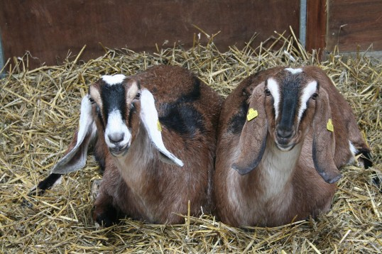Two of Chris Nye's goats, Pymoor.