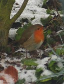A robin in the snow in Pymoor, 2009.