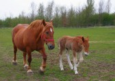 A proud mother with her son. Suffolk Punches, Willow & Whisper in Dunkirk, Pymoor.