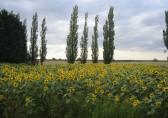 A field of sunflowers in Straight Furlong, Pymoor.