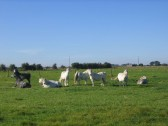 Horses grazing in a field off Pymoor Lane, Pymoor.