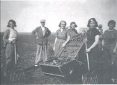 Potato 'riddling' at Starlings Farm, Pymoor, circa 1941