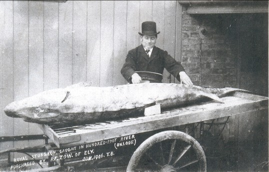 Royal Sturgeon caught in the Hundred Foot River at Oxlode, Pymoor, 1906