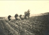 Setting potatoes on Harold Sadler's Field, Byall Farm, Oxlode, Pymoor, circa 1945