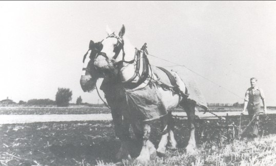 Clifford Chambers tilling the ground in Pymoor circa 1937