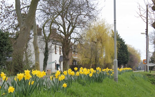 It is Springtime and the daffodiles are out in Pymoor Lane.