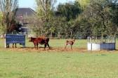 Young cattle in a field off Pymoor Lane, Pymoor, 2011.
