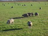 Sheep on a field by Westmoor Common, Main Street, Pymoor, 2012.