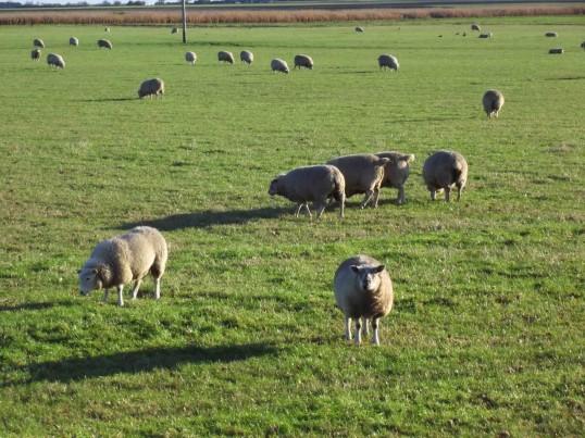 Sheep on a field by Westmoor Common, Main Street, Pymoor, 2012.