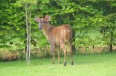 A deer in a garden in Pymoor Lane, Pymoor, 2012.